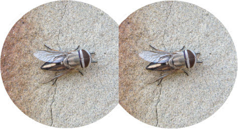 A picture of a fly duplicated as if the human eye viewed everything as a mosaic of two images